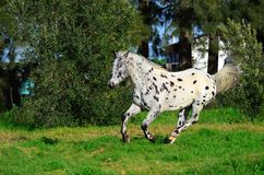 Spotted appaloosa horse outdoors running. Appaloosa horse outdoors on a farm running Royalty Free Stock Image