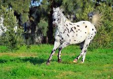 Spotted appaloosa horse outdoors running. Appaloosa horse outdoors on a farm running Stock Photos