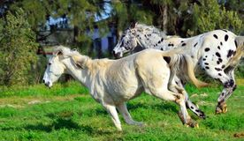 Spotted appaloosa horse running with a white horse. Appaloosa horse outdoors in a feild running with anothe white horse Stock Images