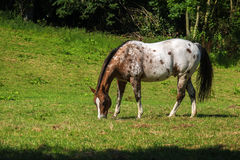 Spotted appaloosa horse in white and brown grazes on the green p Stock Images