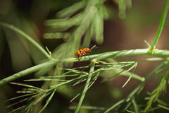 Spotted Asparagus Beetle Royalty Free Stock Photography
