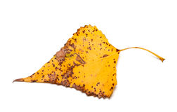 Spotted autumn leaf of poplar Stock Image