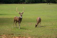 Spotted Axis buck deer and doe Royalty Free Stock Photo
