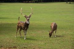 Spotted Axis buck deer and doe walking through grassy meadow Stock Photos