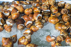 Spotted babylon at seafood market in Thailand Royalty Free Stock Photography