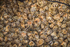 Spotted babylon shellfish top view. Raw food Stock Images