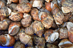 Spotted babylon shellfish top view Royalty Free Stock Photos