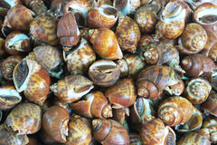 Spotted babylon snail Royalty Free Stock Photos