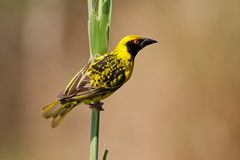 Spotted-backed Weaver Stock Images