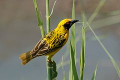 Spotted-backed Weaver Stock Image