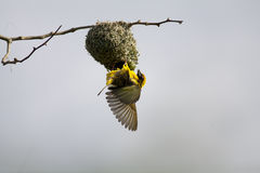 Spotted backed weaver Stock Images