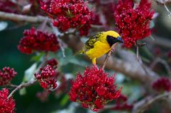 Spotted-backed Weaver in a Weeping Boer-bean tree. A Spotted-backed Weaver in a Weeping Boer-bean tree Stock Photos