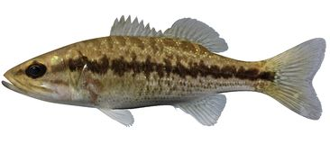 Spotted Bass. Fish illustration on white background vector illustration