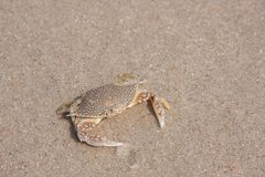 Spotted Beach Crab Royalty Free Stock Photography