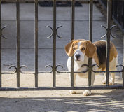 Spotted Beagle dog looking through gate bars. Royalty Free Stock Photography