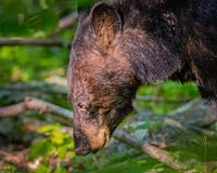 A black bear near a stream during golden hour. Spotted this bear drinking from a stream as the sun was setting royalty free stock image