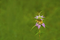 Spotted Bee-balm Royalty Free Stock Image