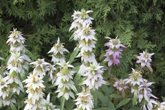 Spotted Beebalm Stock Images