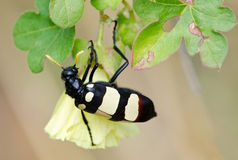 Spotted beetle on flower Royalty Free Stock Image