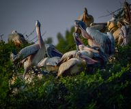 Spotted billed pelican royalty free stock image