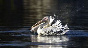 Spotted-billed Pelican Stock Images