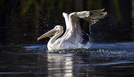 Spotted-billed Pelican Royalty Free Stock Image