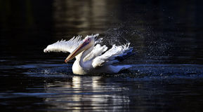 Spotted-billed Pelican Stock Photo