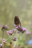 Spotted Black Crow Butterfly Royalty Free Stock Images
