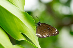 Spotted Black Crow Butterfly. Tropical Spotted Black Crow Butterfly Euploea Crameri Bremeri sitting on a leaf Royalty Free Stock Photos