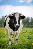 Spotted black-white cow. In field Royalty Free Stock Images