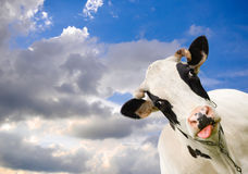 Spotted black and white cow on background of sky with clouds. Funny black and white cow and dramatic blue sky. Farm animals. Funny cow sticks out her tongue stock photo