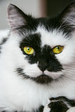 Spotted black and white male cat Stock Photography