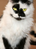 Spotted black and white male cat Royalty Free Stock Photography
