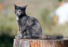 Spotted blue cat Royalty Free Stock Photo