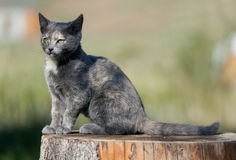 Spotted blue cat Stock Photography
