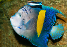 Spotted blue discus Stock Image