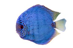 Spotted blue discus Stock Photo