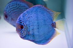 Spotted blue discus Stock Images