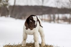Spotted Boer Goat kid standing on hay bale in winter snow. 10 days old baby goat, very cute royalty free stock images