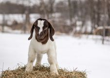 Spotted Boer Goat kid standing on hay bale in winter snow. 10 days old baby goat, very cute royalty free stock photo
