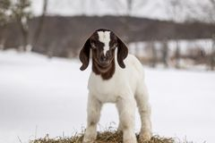 Spotted Boer Goat kid standing on hay bale in winter with snow. Spotted Boer Goat kid standing on hay bale in winter snow. 10 days old baby goat, very cute stock image