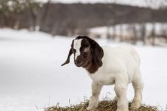 Spotted Boer Goat kid standing on hay bale in winter with snow. Spotted Boer Goat kid standing on hay bale in winter snow. 10 days old baby goat, very cute stock photo