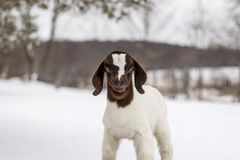 Spotted Boer Goat kid in winter with snow. Spotted Boer Goat kid standing on hay bale in winter snow. 10 days old baby goat, very cute royalty free stock photo