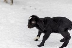 Spotted Boer Goat with Lop Ears in the snow. Baby Spotted Boer Goat with lop ears is only 4 days old. Baby Goat. Baby animal stock image
