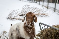 Spotted Boer Goat with Lop Ears in the snow. Eating hay. Funny face. Goats stock photos