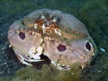 Spotted box crab Stock Images