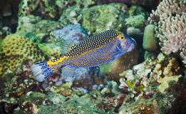 Spotted boxfish Stock Photo