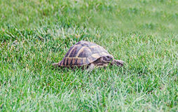 Spotted brown and blue turtle sitting in green grass, close up Royalty Free Stock Images