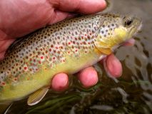 Spotted Brown Trout. Photo of wild Gunpowder river brown trout caught while flyfishing.  This fish is beautifully colored Royalty Free Stock Images