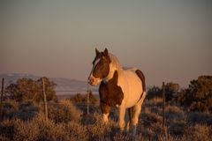 Spotted Wild Horse In Sandwash Basin Early Evening In Winter. Spotted Brown and White Wild Horse In Sandwash Basin Early Evening In Winter stock image